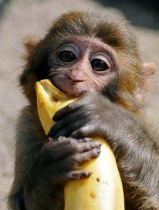 20130305152731-monkey-eats-banana